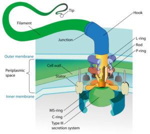 Schema del flagello batterico